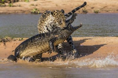 Jaguar catches and eats crocodile SHOCKING