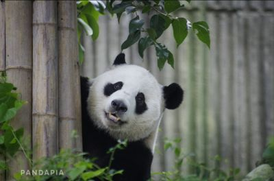 "Panda had a ""phantom pregnancy."""