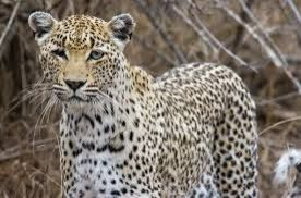Woman kills leopard with sickle after it attacks her