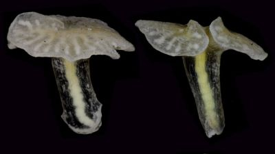 Deep sea 'mushroom' may be new branch of life