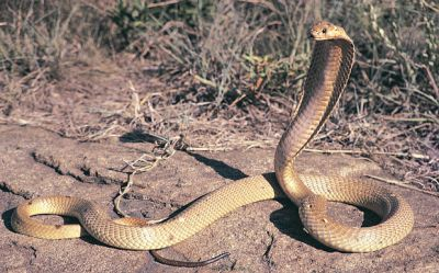 The town on high alert over escaped deadly cobra