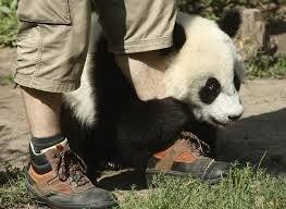 Cute panda cub hugs zookeeper's leg  PHOTO