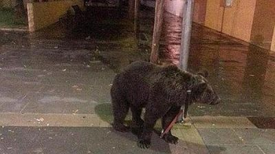 Bear tied to lamp post outside pub while owner goes for a drink
