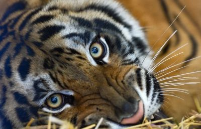 Putin released tiger  suspected of pouncing on hen house in China