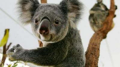 Hundreds of koalas killed