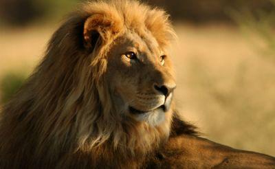 Lion kills tourist