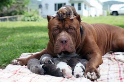 World's biggest pitbull  PHOTO