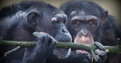 US court rules against recognizing chimpanzees as persons
