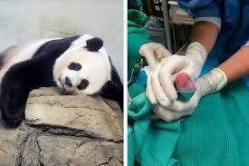 Panda twins take US zoo by surprise