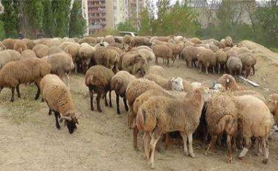 В Азербайджане возьмут под контроль разделку жертвенных животных