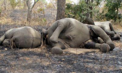Браконьеры в парках Зимбабве отравили 14 слонов