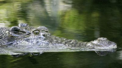 Crocodiles sleep with one eye open on the lookout RESEARCH