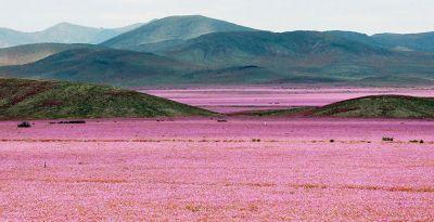 Самая сухая пустыня на Земле покрылась розовыми цветами ФОТО