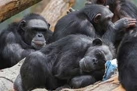 US government ends research on all chimpanzees