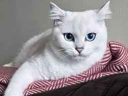 Кот с небесно-голубыми глазами стал звездой интернета ФОТОГРАФИИ
