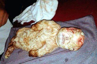 İnsan üzlü keçi doğuldu